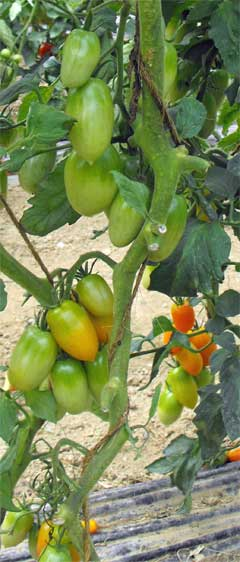 Tomate Amish Gold Pflanze