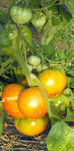Tomate Aunt Ginny's Purple Pflanze