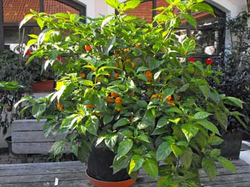 Scotch Bonnet 'Big Sun'