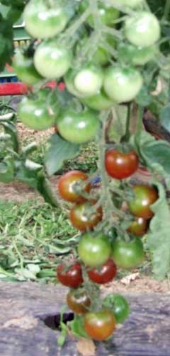Tomaten Brown Berry