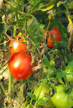 Tomate Canabec Rose Pflanze