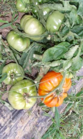 Tomate Dorothy's Green Pflanze