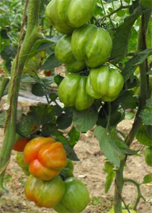 Tomate Gogoshari Striped Pflanze