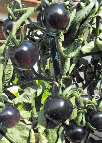 Tomate Indigo Rose Pflanze