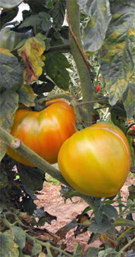 Tomate Marvel Striped Pflanze