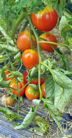 Tomate Red Butterheart Pflanze