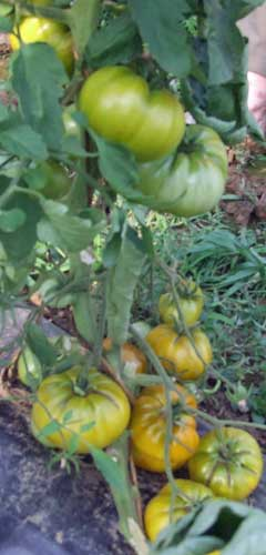 Tomate Spear's Tennessee Green Pflanze