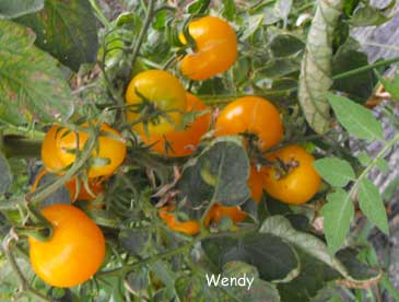 Wendy Tomate