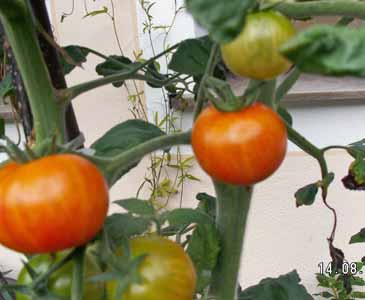 Tomaten Isis Candy